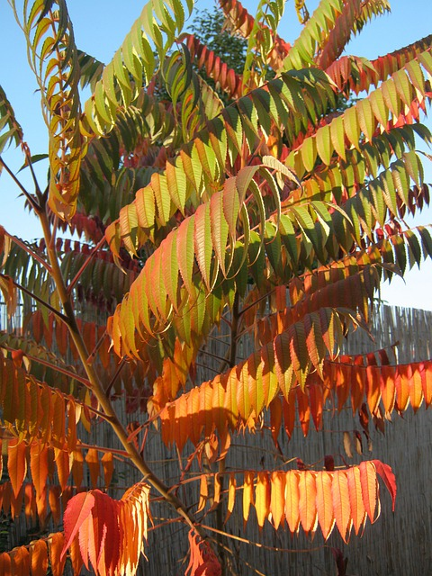 Rhus, Autumn, Colorful, Decoration, Emerge