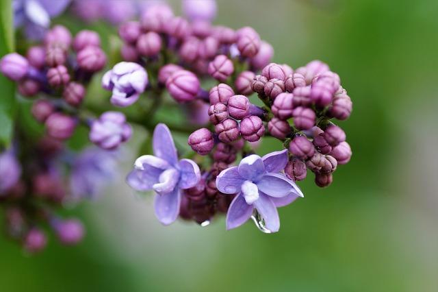 Lilac, Without, Violet, Flower, Garden, Decorative