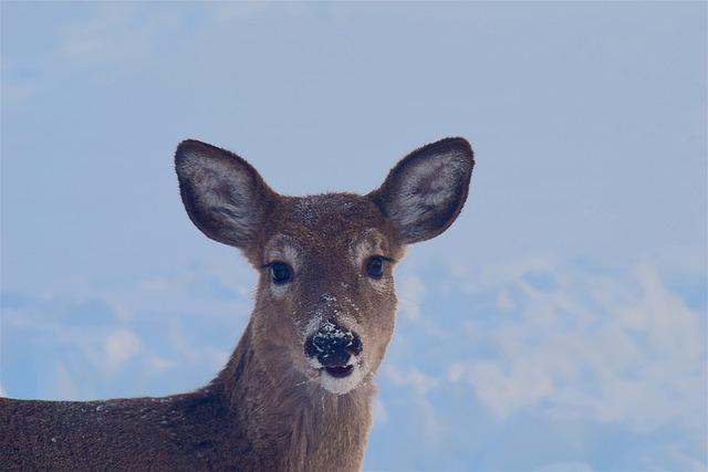 Deer, Snow, Face, Portrait, Beautiful, Animal, Eyes