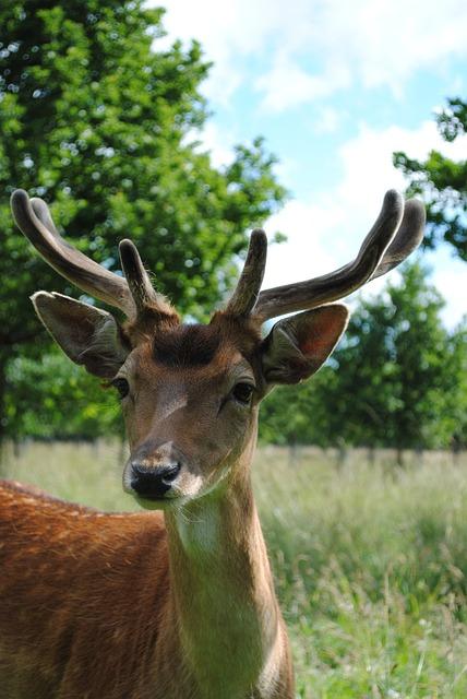 Deer, Young Buck, Fallow