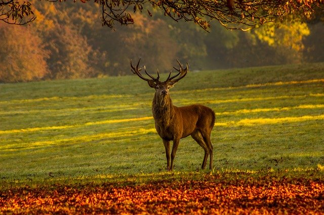 Stag, Nature, Deer, Mammal