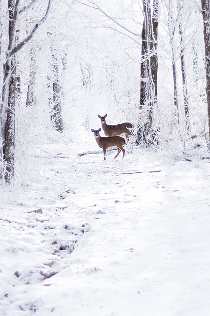 Snow, Winter, Cold, Frost, Nature, Deer, Outdoors