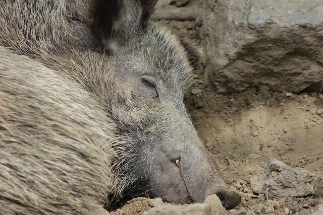 Boar, Pig, Animal, Wild Boar, Mud, Sleeps, Deer Park