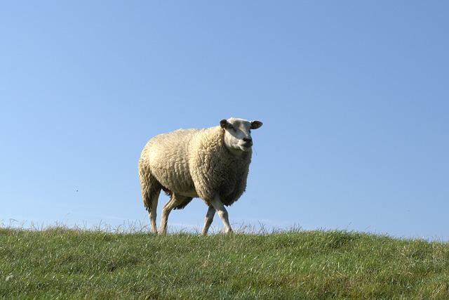 Sheep, Deichschaf, Dike, North Sea, Nordfriesland
