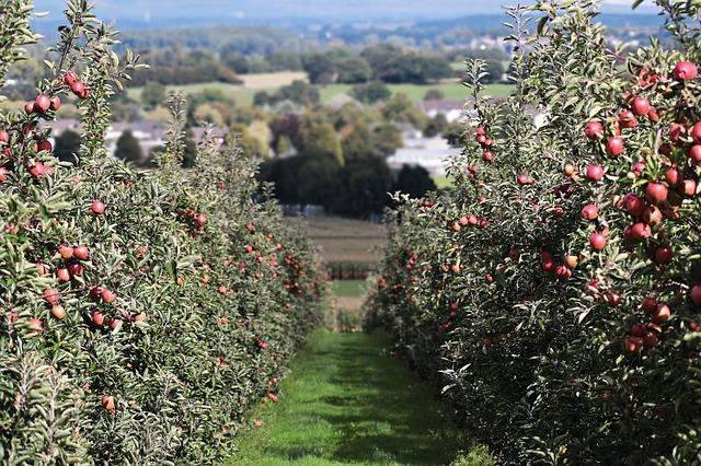Apple, Landscape Red, Apple Orchard, Delicious, Fruit