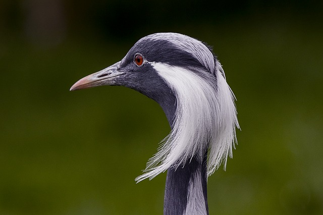 Demoiselle Crane, Bird, Zoo, Wildlife, Animal, Nature