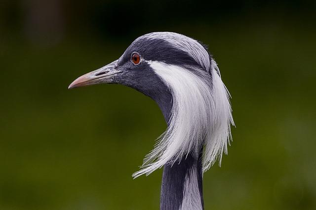 Demoiselle Crane, Bird, Zoo, Wildlife, Animal, Nature