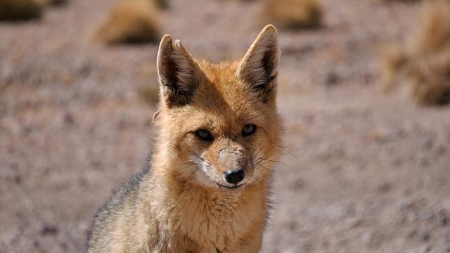 Fox, Animal, Desert, Bolivia