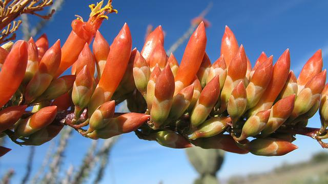 Desert Bloom, Ocotillo, Nature, Tucson, Arizona