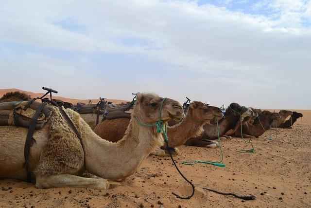 Morocco, Desert, Camel, Sahara, Merzouga, Africa