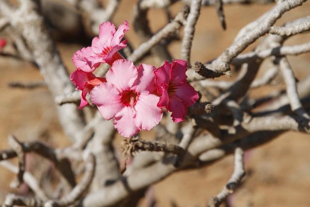 Desert Rose, Oman, Plant, Flowers, Pink, Pink Flower