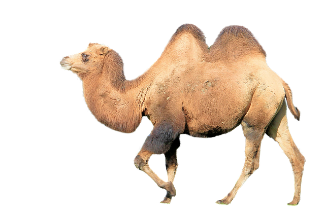 Camel, Mammal, Animal, Hump, Desert Ship, Zoo