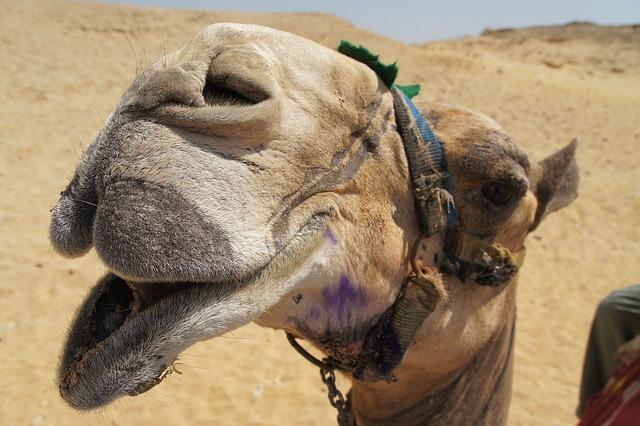 Egypt, Camel, Dromedary, Desert Ship, Camel Riding