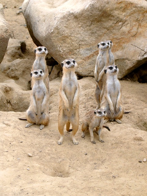 Meerkat, Zoo, Animal, Sand, Desert, Attention, Vigilant