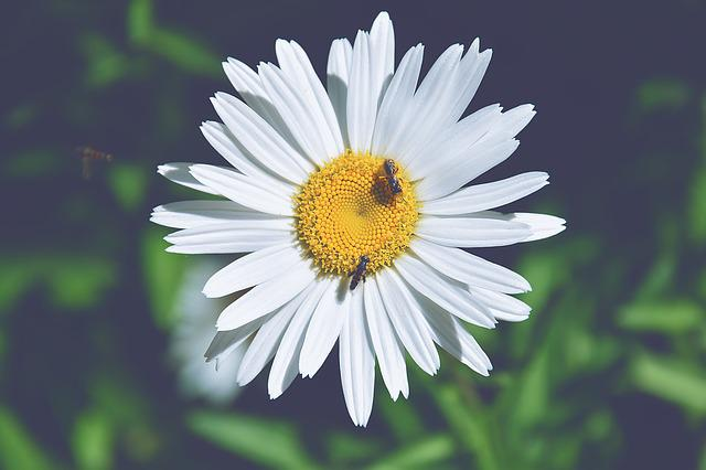 Margaret, Wasps, Detail, Wasp On Daisy, Petals, Flower