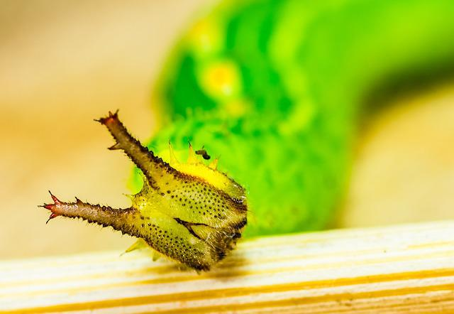 Caterpillar, Green, Head, Horns, Detail, Macro, Animal