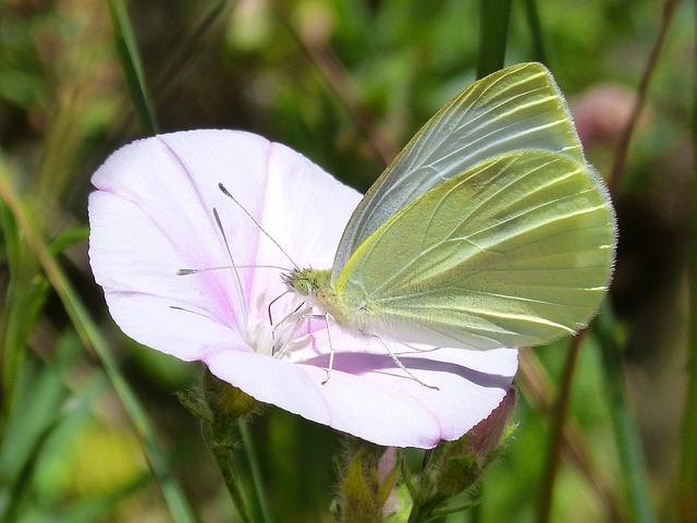 Butterfly, Libar, Blanquita Of Cabbage, Detail