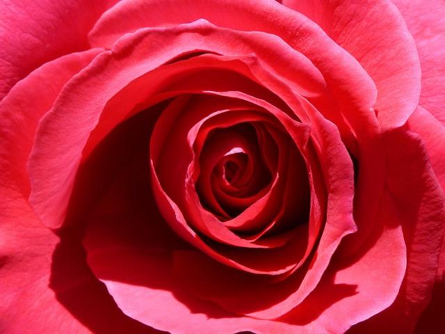 Rosa, Petal, Detail, Background, Flower, Love