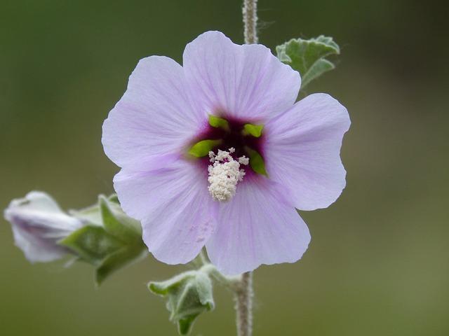 Hibiscus Syriacus, Syrian Rose, Wild Flower, Detail