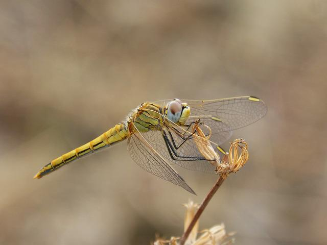 Dragonfly, Yellow Dragonfly, Detail, Winged Insect