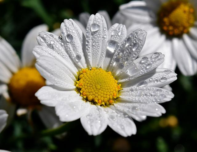 Margaritte, Dew, Blossom, Bloom, Drop Of Water, White