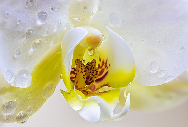 Orchid, Flower, Petals, Dew, Dew Drops, Nature