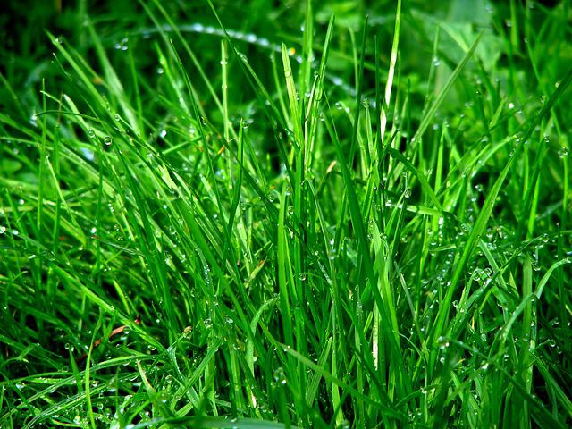 Rush, Grass, Dew, Meadow, Dewdrop, Drip, Water