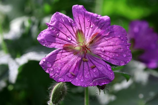 Blossom, Bloom, Dew, Nature, Plant, Close, Purple