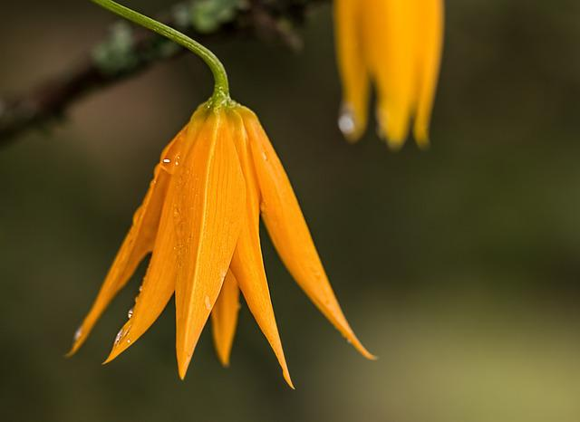 Flower, Dewdrop, Orange, Bell-shaped, Dew, Raindrop