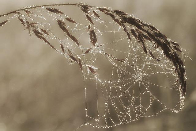 Morgentau In Cobweb, Dewdrop, Cobweb, Morgentau, Dew