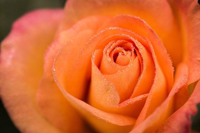 Rose, Flower, Dewdrops, Macro, Bloom, Plant, Botanical