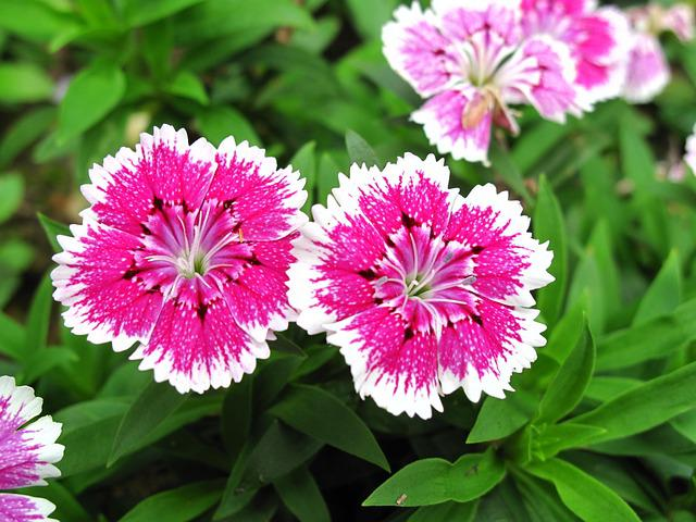 Dianthus, Two, Pink, Flower, Summer