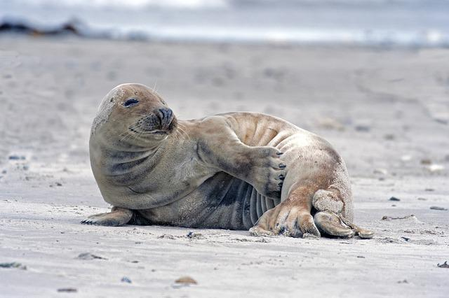Grey Seal, Robbe, Helgoland, Dick Chen
