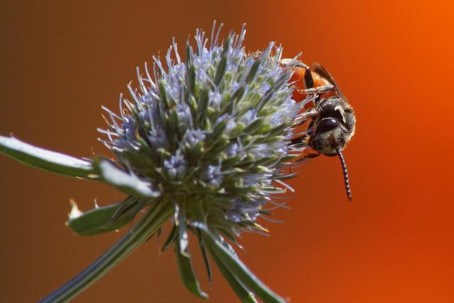 Blood Bee, Furrow Bee, Blossom, Bloom, Diestel, Close