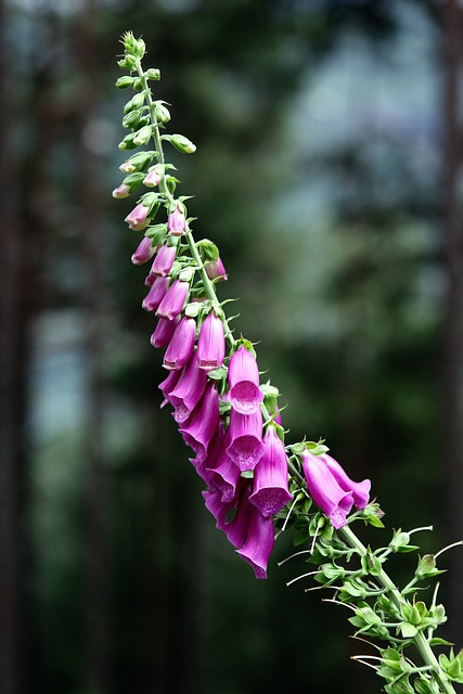 Common Foxglove, Flower, Digitalis Purpurea, Blossom