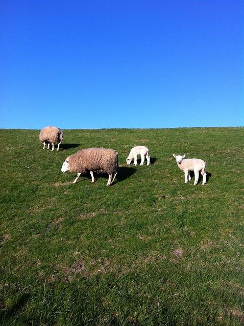 Sheep, Dike, Deichschaf, North Sea