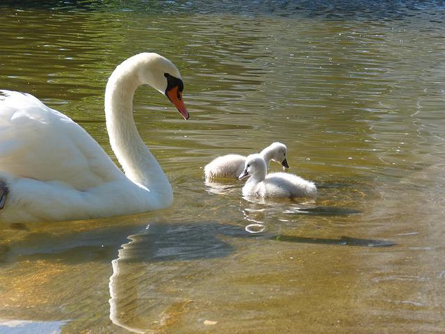 Cygnons, Swan, Park, Garden, Director, Bird, Animal