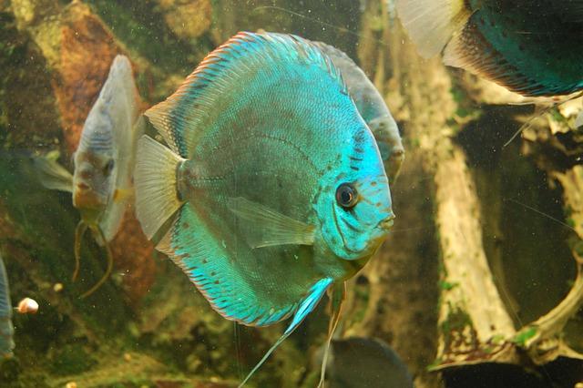 Discus Cichlid, Fish, Aquarium, Swim, Water