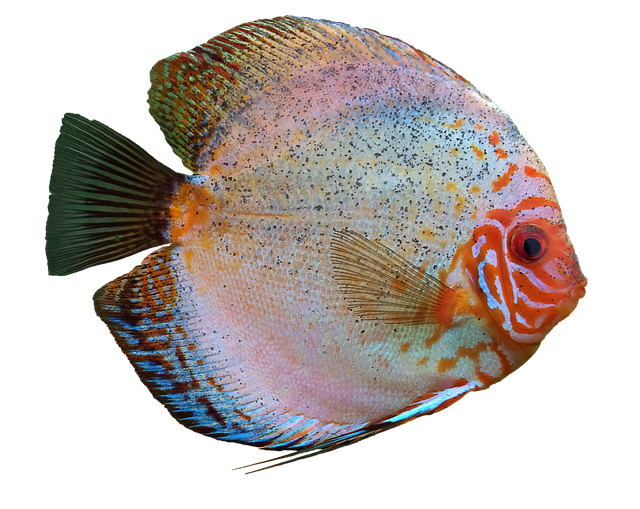 Discus Fish, Cichlid, Aquarium, Isolated