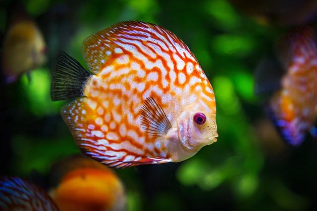 Discus Fish, Symphysodon Aequifasciatus, Fish, Nature