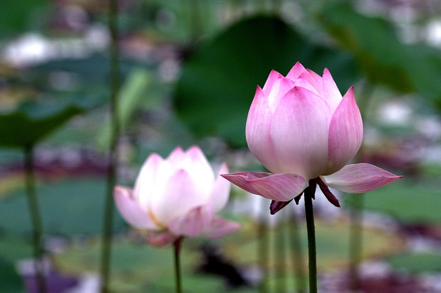 Lotus, Pink, Fresh, Distance, Pond, Double, Buddhism