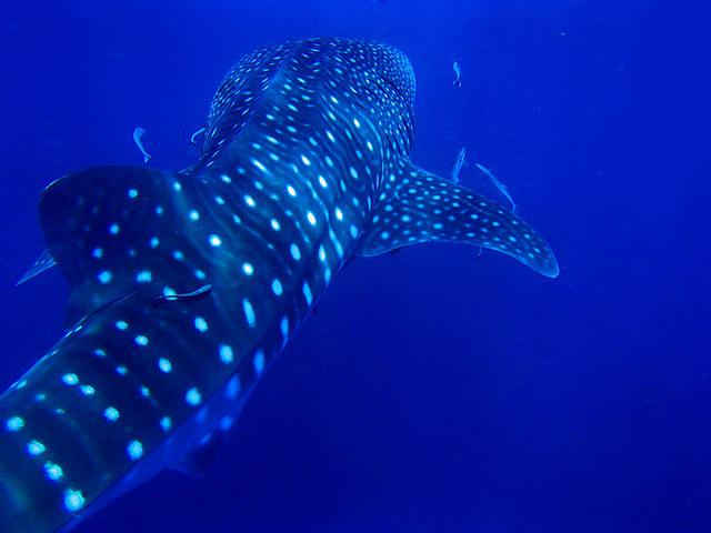 Rock Sail, Whale Shark, Thailand, Kho Phan Gan, Diving