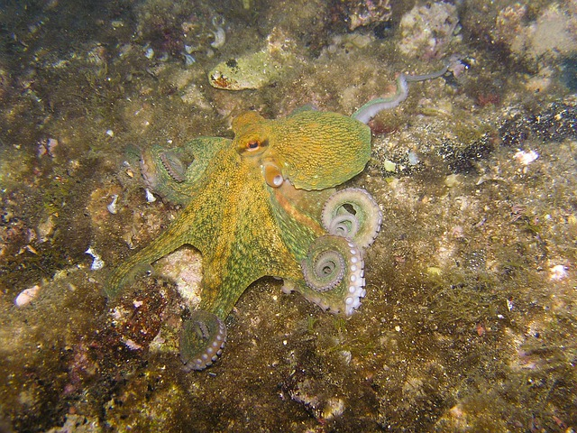 Octopus, Squid, Diving, Underwater, Croatia