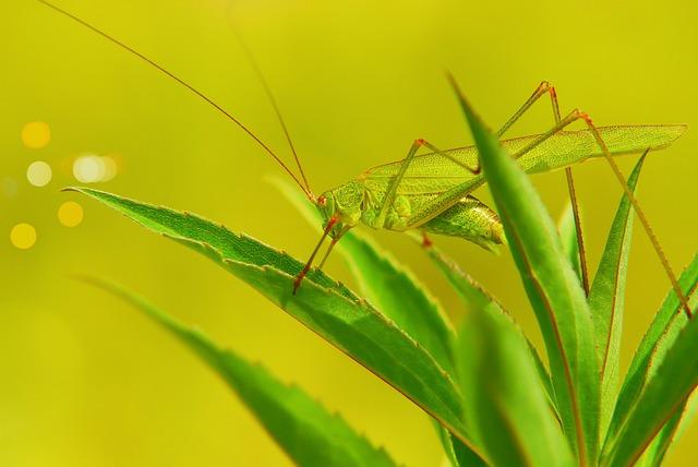 Długoskrzydlak Sierposz, Prostoskrzydłe, Tom, Insect