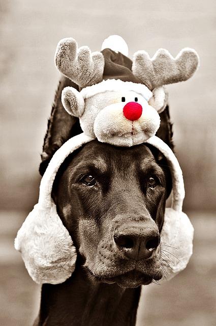 Luna, Doberman, Dog, Christmas