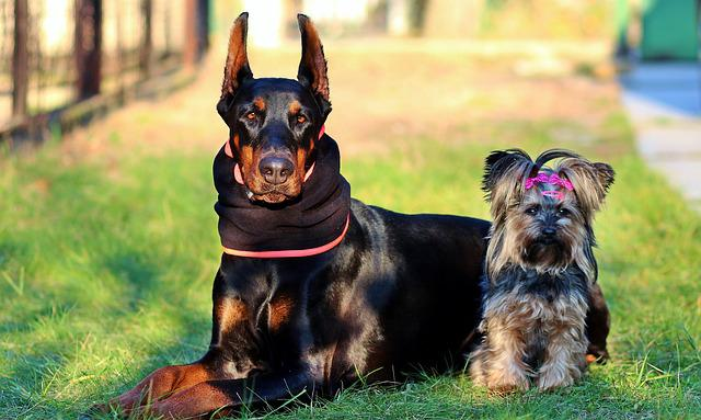 Doberman, Yorkshire Terrier, Dogs, Friendship, Cute