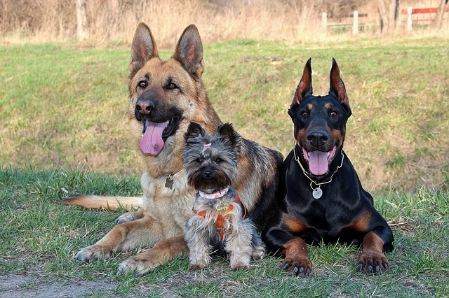 Doberman, Yorkshire Terrier, German Shepherd, Dogs