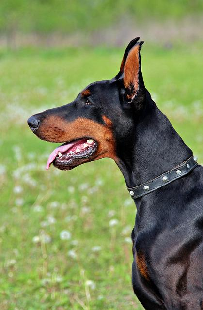 Doberman, Dog, Head, Beauty, Portrait