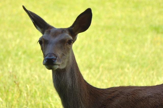 Doe, Red Deer, Wild, Forest, Forest Animal, Nature