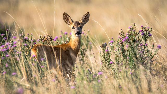 Roe Deer, Capreolus Capreolus, Doe, Animal, Nature